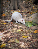 Albino Tammar Wallaby IMG_0155A Stock Image