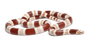 Albino Tangerine Honduran milk snake. Lampropeltis triangulum hondurensis, in front of white background Stock Image