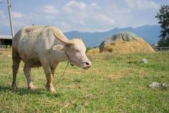 Albino Thai Buffallo Imagens de Stock