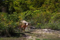 Albino Thai buffalo behind green bush in nature forest royalty free stock image