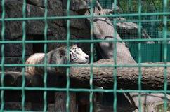 Albino tiger in a cage. Unhappy rare albino tiger in a cage Royalty Free Stock Photos