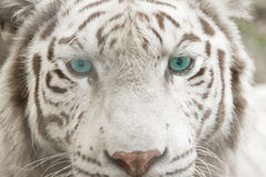 albino tiger face Stock Photography