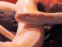 Albino Tiger Python. Close up Royalty Free Stock Photography