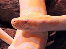 Albino Tiger Python. Close up Royalty Free Stock Photos