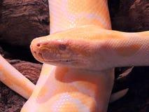 Albino Tiger Python. Close up Stock Photo
