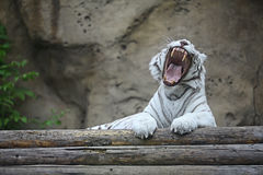 Albino tiger in zoo Royalty Free Stock Photography