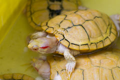 Albino tortoise. Animal Royalty Free Stock Photos