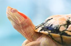 Albino Turtle. A sleeping albino red earred slider has translucent eyelids due to it's lack of pigmentation royalty free stock photos