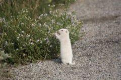Albino Uintah Ground Squirrel Eating-Asterbloemen royalty-vrije stock fotografie