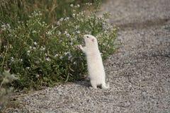 Albino Uintah Ground Squirrel Eating asterblommor royaltyfria foton
