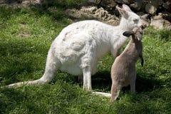 Albino wallaby και καφετί joey Στοκ Φωτογραφίες