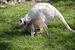 Albino wallaby και καφετί joey Στοκ Εικόνες
