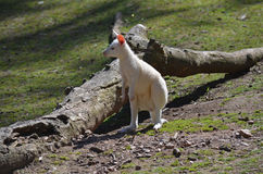 Albino wallaby Royalty Free Stock Images