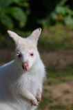Albino wallaby Royalty Free Stock Photos