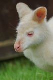 Albino Wallaby Stock Photography