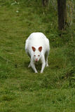 Albino Wallaby Stockbilder