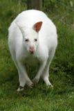 Albino Wallaby Fotografía de archivo libre de regalías