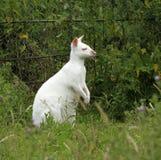 White Kangaroo Royalty Free Stock Images