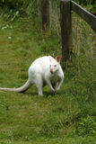 Albino Wallaby. Albinos do not have any color pigment at all, they have pink eyes & nose with white fur Royalty Free Stock Image