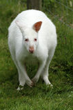 Albino Wallaby. Albinos do not have any color pigment at all, they have pink eyes & nose with white fur Royalty Free Stock Photography