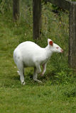Albino Wallaby. Albinos do not have any color pigment at all, they have pink eyes & nose with white fur Royalty Free Stock Photo