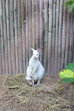 Albino Wallaby with baby Royalty Free Stock Image