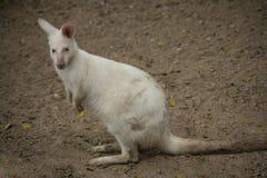 Albino Wallaby royalty free stock photo