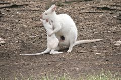 Albino joey wallaby and mum. The albino wallaby is cuddlling her joey royalty free stock image