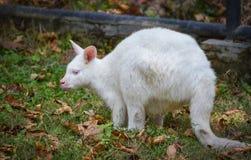 Albino wallaby. Grazing white albino kangaroo Red necked Wallaby Royalty Free Stock Image