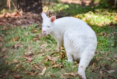 Albino wallaby. Grazing white albino kangaroo Red necked Wallaby Royalty Free Stock Photo