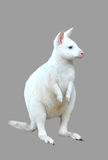 Albino wallaby isolated Stock Image