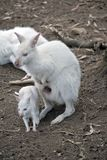 Albino wallaby with joey Stock Photography