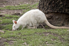 Albino wallaby and joey Stock Image