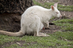 Albino wallaby and joey Royalty Free Stock Photos