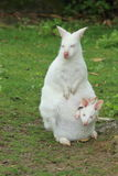 Albino wallaby. The albino wallaby with the joey in her pocket stock images