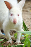 Albino wallaby Stock Image