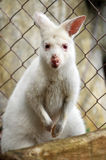 Albino wallaby Royalty Free Stock Photo