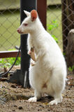 Albino wallaby Royalty Free Stock Photography