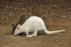 Albino wallaby specimen at Kangaroo island, Australia Stock Photos