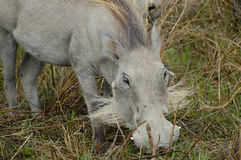 Albino Warthog - Ngorongoro Crater - Tanzania Royalty Free Stock Photo
