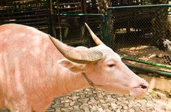 An albino water buffalo Stock Photography