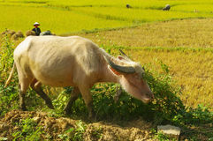 Albino water buffalo Stock Photo
