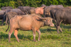 Albino Water Buffalo Fotografia Stock