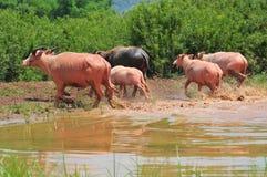 Albino water buffalo five Royalty Free Stock Images