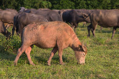 Albino Water  Buffalo Stock Image