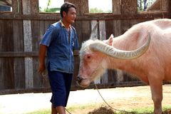 Albino water buffalo and the man who raising it at Buffalo Village, or Baan Kwai in Thai. stock photography