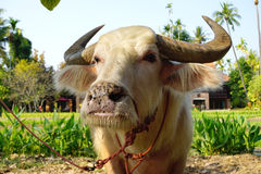 Albino cow stock photo. Image of cattle, countryside ...