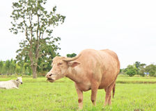 An albino water buffalo Royalty Free Stock Photos