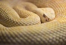 Albino Western Diamond Back Rattlesnake Stockfotos