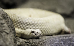 Albino Western Diamondback Rattlesnake Royalty Free Stock Photography